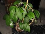././Photos/Plantes/Hoya_M-N-O/Mini/21minB-IMG_1709.JPG