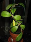 ././Photos/Plantes/Hoya_M-N-O/Mini/21minS-IMG_0833.JPG