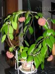 ././Photos/Plantes/Hoya_M-N-O/Mini/21minS-IMG_1959.jpg