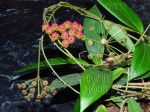 ././Photos/Plantes/Hoya_S-T-U-V-W/Mini/20soligam-IMG_2325.jpg