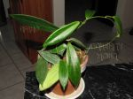 ././Photos/Plantes/Hoya_S-T-U-V-W/Mini/20soligam-IMG_7547a.jpg